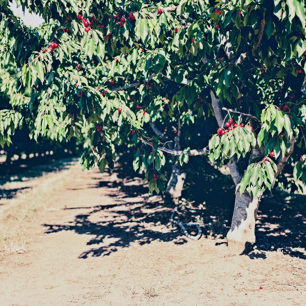 cherry orchard in northern california